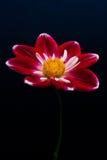 Яркий покрашенный цветок Стоковое фото RF