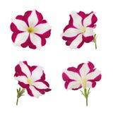 Яркий розовый и белый изолированный цветок петуньи Стоковое Изображение