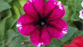 Яркий розовый красный цветок сток-видео