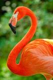 Яркий розовый фламинго поражает представление Стоковая Фотография