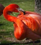 Яркий розовый фламинго на зеленой предпосылке Стоковое фото RF