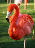 Яркий розовый фламинго на зеленой предпосылке Стоковое Фото
