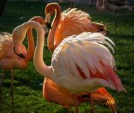 Яркий розовый фламинго на зеленой предпосылке Стоковые Изображения RF