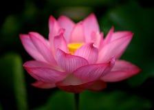 Яркий розовый цветок лотоса Стоковое Фото