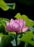 Яркий розовый цветок лотоса Стоковое Изображение RF