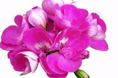 Яркий розовый цветок пеларгонии Стоковая Фотография