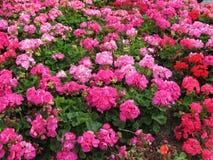Яркий розовый цветочный сад Стоковые Изображения RF