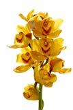 яркий свежий желтый цвет орхидеи Стоковая Фотография RF