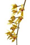 яркий свежий желтый цвет орхидеи Стоковое Фото