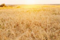 Яркий солнечный день, поле пшеницы на летний день, концепция хороший выпивать Стоковое фото RF