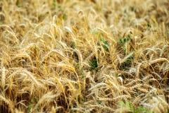 Яркий солнечный день, поле пшеницы на летний день, концепция хороший выпивать Большие колоски, конец-вверх Стоковое Фото