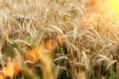 Яркий солнечный день, поле пшеницы на летний день, концепция хороший выпивать Большие колоски, конец-вверх Shimmer Солнця Стоковые Изображения RF