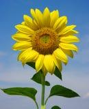 яркий солнцецвет Стоковые Изображения