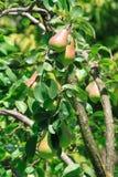 Яркий сочный плодоовощ груши вися на дереве в зеленых листьях. Стоковые Изображения RF