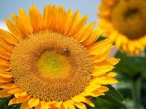 Яркий солнцецвет цвета Стоковые Изображения RF