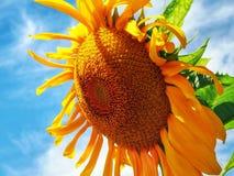 яркий солнцецвет Стоковое Фото