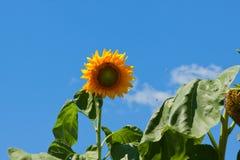 яркий солнцецвет Стоковые Фотографии RF