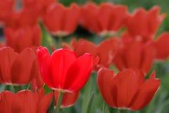яркий тюльпан стоковое изображение