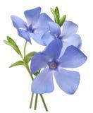 Яркий фиолетовый одичалый букет цветка барвинка Стоковые Изображения