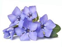 Яркий фиолетовый одичалый цветок барвинка Стоковая Фотография