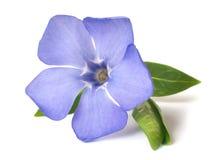 Яркий фиолетовый одичалый цветок барвинка Стоковые Фотографии RF