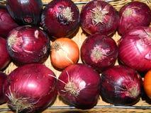 Яркий фиолетовый vegetable лук Стоковое Изображение RF