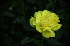 Яркий цветок желтой розы в темной листве Стоковые Изображения