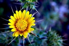 яркий цветок шиповатый стоковые изображения rf