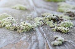 Яркий ый-зелен мох в предпосылке зимы заморозка сезонной Стоковое фото RF