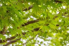 Яркий ый-зелен новый рост японских кленовых листов весной Стоковая Фотография