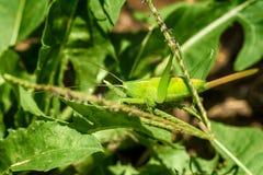 Яркий ый-зелен кузнечик на лист Стоковое Изображение RF