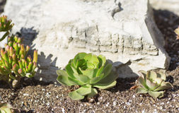 Яркий ый-зелен куст растя среди камней Стоковые Фотографии RF