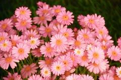 Яркий flowerbed с розовыми цветками Стоковое Фото