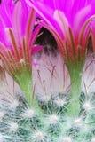 яркий mammillaria цветков Стоковое Фото