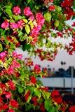 Ярким Fuchsia Bougainvillia покрашенное пинком цветет побережье Калифорнии Стоковые Фотографии RF