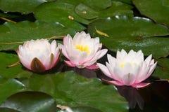 3 ярких белых лилии в пруде Стоковое Фото