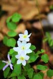 3 ярких белых цветка стоковая фотография rf