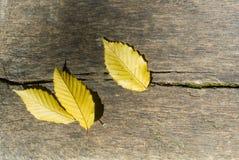 3 ярких желтых листь осени на деревянной текстуре, близком ` вверх по ба Стоковое Изображение RF