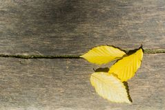 3 ярких желтых листь осени на деревянной текстуре, близком ` вверх по ба Стоковые Изображения