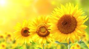 3 ярких желтых солнцецвета Стоковые Изображения