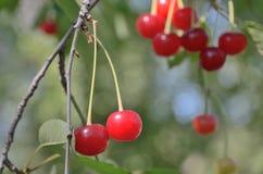 2 ярких красных вишни на ветвях внешних Стоковые Изображения RF