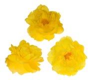 3 ярких цветка розы желтого цвета на белизне Стоковая Фотография