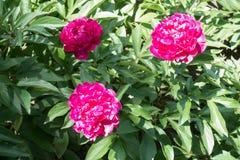 3 ярких magenta двойных цветка пиона Стоковая Фотография RF