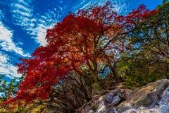 Яркое дерево красного клена на потерянных кленах парке штата, Техасе стоковое изображение