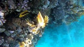 Яркое желтое swimm рыб около кораллового рифа, в Красном Море акции видеоматериалы