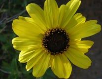 Яркое желтое цветене солнцецвета Калифорнии весной против предпосылки зеленых листьев Стоковое Изображение RF