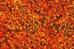 Яркое красное и оранжевое падение осени выходит предпосылка Красочное стоковые фотографии rf