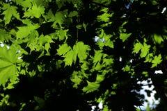 Яркое ое-зелен и темное, черное дерево выходит backround стоковые изображения rf