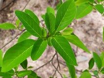 Яркое ое-зелен яблоко сахара выходит в сезон дождей, обильный рост зеленых листьев и ветви стоковое изображение