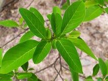 Яркое ое-зелен яблоко suga выходит в сезон дождей, обильный рост зеленых листьев и ветви стоковое фото